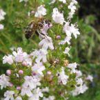 Les bienfaits du miel de thym sur la santé